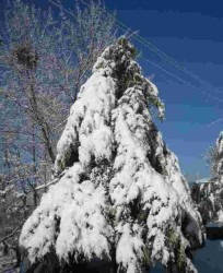 Snow Clad Pine Tree in Shimla Himachal Pradesh